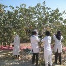 New Tool Helps Pistachio Growers Pinpoint Yields