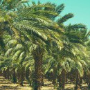 The cultivation of date palm throughout the world is part of UNESCO's intangible heritage