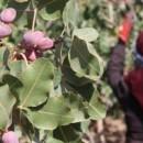 Pistachio Production Reaches 320K Tons So Far in Iran