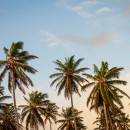 Fiber optic tech could save date palms from infestations2
